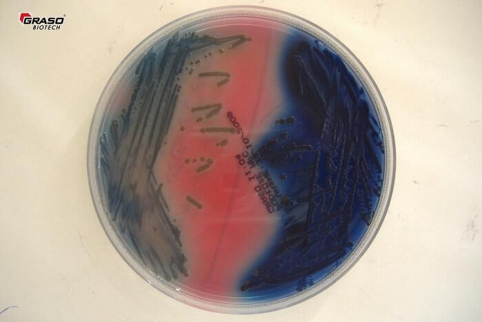 mFC Agar E.aerogenes, E.coli DSCF0749