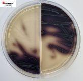 Enterococcosel Agar / Enterococcosel Agar z wankomycyną (2004)
